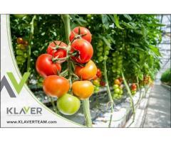 Szklarnia z pomidorami, praca od zaraz, Holandia (Westland)